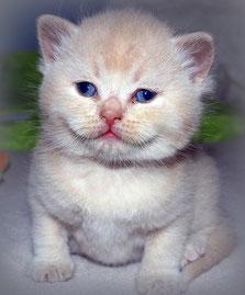 BKH vom Schnatterloch, männlich, 3 Wochen alt