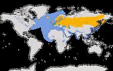 Karte zur Verbreitung der Lachmöwe (Chroicocephalus ridibundus)