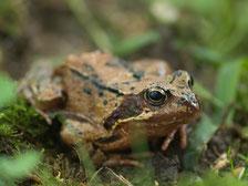 Frosch im Gras