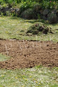 18.04.2020 : frisch aufgebrachte Erde (abgesackter Boden), die etliche Mauerbienenweibchen sofort als Baumaterialquelle nutzten