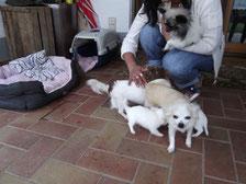 Chi-Love.de | Woran erkenne ich einen guten Chihuahua Zuechter?