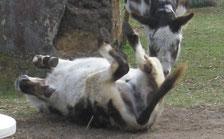 Esel wälzt sich