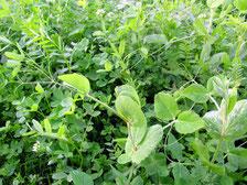Gründüngung im Bioanbau