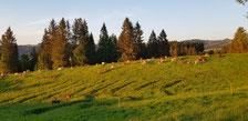 Abendsonne über der Kuhweide