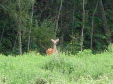 そして鹿さんも堆肥まきに参加