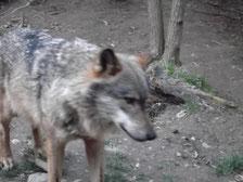 Iberischer Wolf (span. Lobo)