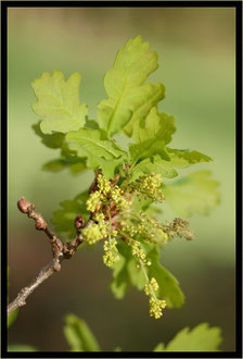 image de feuilles et graines du chêne.