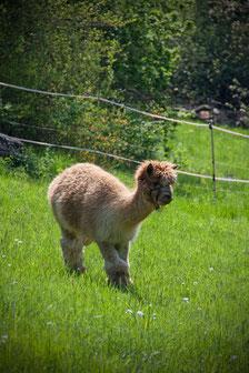 Alpaka Touren in Wülfrath, wohlfühlen wie auf einem Bauernhof