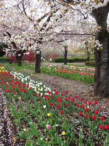 サービスセンターの近くでは、まだ桜が咲いていました。チューリップもきれいでした