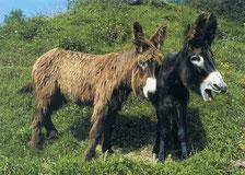 Baudet du Poitou au Parc animalier