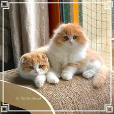 highland fold et Scottish fold