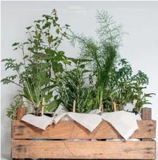 12 Plantas Aromaticas y Medicinales para Huerto incluye Guacal