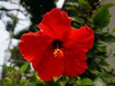 ハワイオアフ 新婚旅行 タクシー貸切観光 チャーター マジックアイランド ハイビスカス