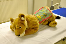 Löwe beim Röntgen mit Bleischürze