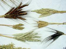 Bild: Aus Gräsern entstand eine große Vielfalt an Getreidesorten. Einige davon sollen beispielhaft im MEGa gesät werden.
