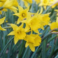 Im Garten erobern sich gelbe Narzissen langsam ihren Platz zurück. Vor allem botanische Varianten erleben gerade einen Aufschwung, wie die trompetenförmige Narcissus asturiensis 'Piccolini'.  Foto: fluwel.de.