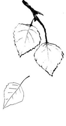 Birkenblätter - Northern Lights Flutes