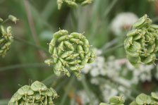 Sedum, plante des milieux secs