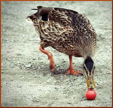 Eine Ente schubst das Boule Schweinchen weg