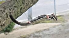 フクロモモンガのジャンプ