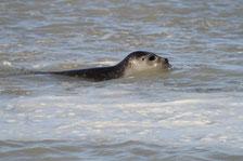 Phoque veau marin