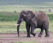 Eléphant, N'Gorongoro Crater, Tanzanie, déc. 2004