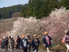 大畑地区の花桃