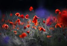 Blumen_Mohn_Die Roadies_Fotografin Julia Neubauer