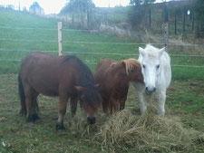 Les poneys qui mangent