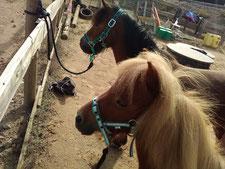 Les poneys l'un à côté de l'autre
