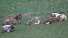 Les 5 chevaux couchés