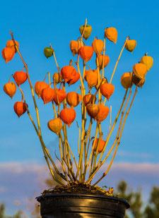 Lampionblume-Früchte