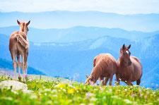 Stutenmilch-Pferde