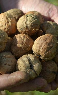 Noix coque Bio de plusieurs variétés