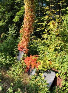 Mit grünen und roten Blättern überwucherte Grabplatten. Jüdischer Friedhoff Weißensee in Berlin. Foto: Helga Karl