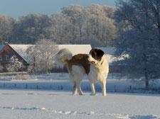 Bernhardiner Thomas im Winter auf der verschneiten Koppel am Hof Felix