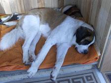 Bernhardiner Thomas in seiner Hundehütte auf dem Hof Felix