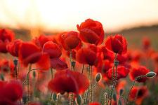Rote Mohnblüte aus dem Waldviertel bei Sonnenuntergang