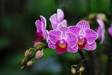 WICHMANN-Orchideen