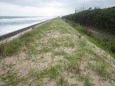 茨城県のハマニンニク砂草植栽