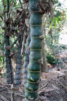 Bambusa vulgaris Wamin.