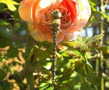 Foto: (Hermann Bergjürgen) schlüpfende Vierfleck-Libelle