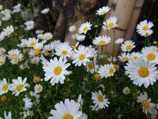 ノースポール(生花)