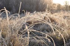 Bild; Gräser mit Reif