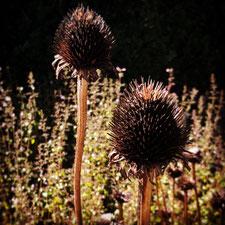 Bild; Echinacea Blütenstand