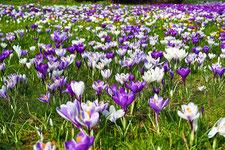Bild; Krokusse, Blumenmeer