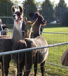 LOHER Lamas auf dem Wollmarkt