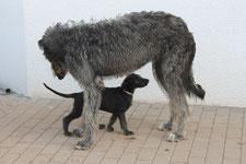 Barsoi und Deerhoundwelpen..., Von Alshamina-die spezielle Zuchtstätte für Scottish Deerhounds und Barsois!