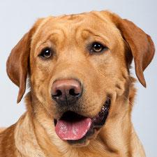 foxred silberträger Labrador