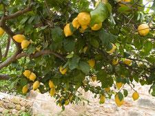 formation aromathérapie en ligne - huile essentielle de citron